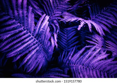 Tropical leaves of fern plant. Ultra violet moody color nature background trend.