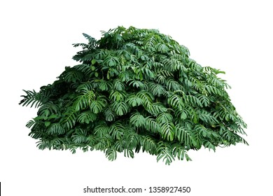 Tropical leaves foliage plant jungle bush of native Monstera (Epipremnum pinnatum) liana vine plant growing in wild forest garden isolated on white background, clipping path included.