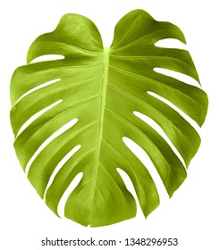 Tropical leaves  isolated on white background. Botanical elements for spa, beauty care products and cosmetics. Monstera plant leaf.