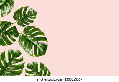 Tropical leaves Monstera on a pink  background for designs. Summer Styled. High quality image. Top view