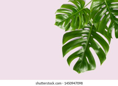 Tropical leaves Monstera on a pink background for designs. Summer Styled. High quality image. Top view - Image