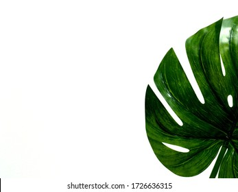 Tropical leaves Monstera on a white background.This image can be used to make a background. as background whit copy space.
