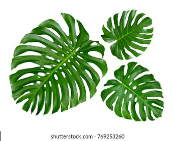 Tropical leaves, Monstera, Swiss Cheese Plant, set of three design patterns, large, medium and small, isolated on white background