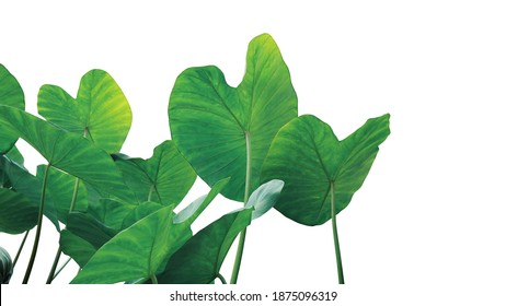 Tropical leaves pattern foliage plant bush of Elephant ear or taro (Colocasia sp.) nature frame layout on white background, tropical summer houseplant and forest concepts.