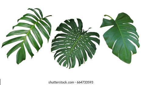 Tropical Leaf On White Images Stock Photos Vectors Shutterstock Tropical leaves isolated on white background, top view. https www shutterstock com image photo tropical leaves set isolated on white 664733593