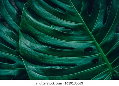 tropical leaves,(  split-leaf ) green foliage in jungle, nature background