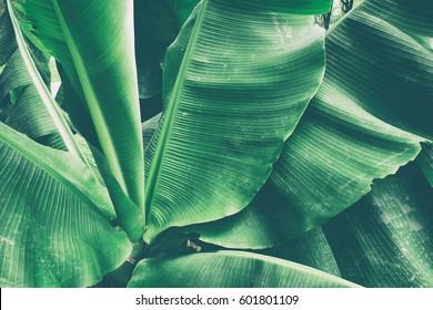 tropical leaves texture background, dark green banana foliage