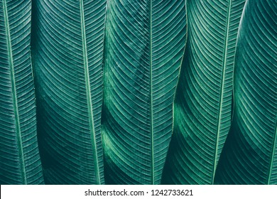 tropical leaves texture, dark green foliage in rainforest, abstract striped of nature background