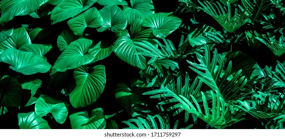 Tropical leaves,(Fern leaves) green foliage in jungle, nature background
