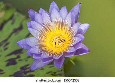 Tropical Lotus Flowers