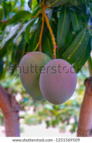 Ripe Mango Tree Images