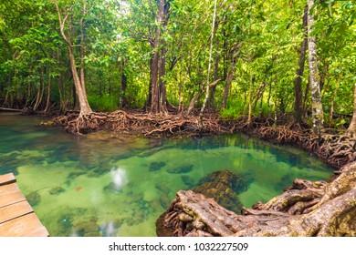 Tropical mangrove green forest clear water, Krabi, Thailand