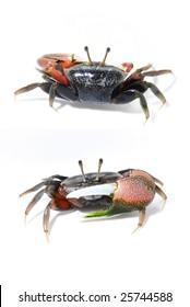 tropical mangrove violin crab