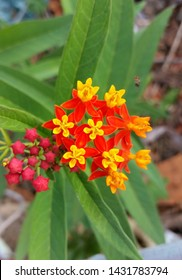A tropical milkweed (Asclepias curassavica) inflorescence with red petals and yellow corona and gynostegium next to a set of flower buds inflorescence with some ground in the background.