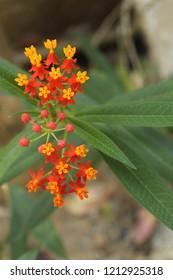 Tropical milkweed, bloodflower, blood flower, cotton bush, hierba de la cucaracha, Mexican butterfly weed,redhead,scarlet milkweed,wild ipecacuanha