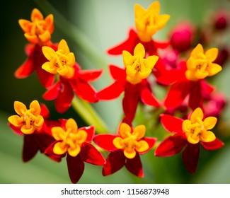 Tropical Milkweed Flowers