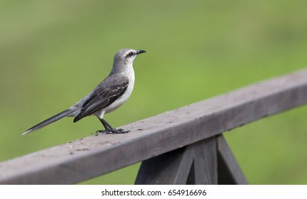 Tropical Mockingbird standing on a wooden fence