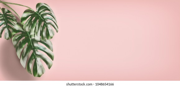 Tropical Monstera leaves at pastel pink background, summer background with copy space for design, template or banner