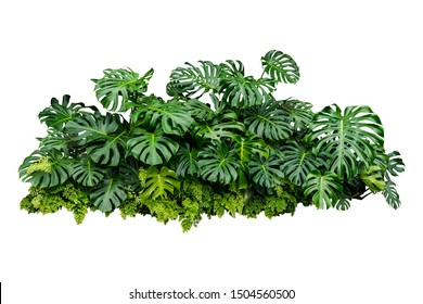 Tropical Monstera Splitleaf Philodendron nature plant isolated backdrop include clipping path on white background.closeup spring botanic decoration floral rain forest plant.Swiss cheese plant