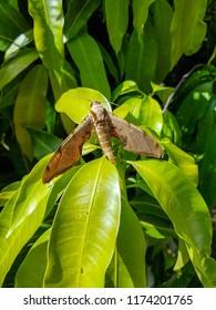 Tropical moth, Mimas tiliae