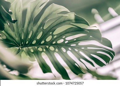 Tropical natural Monstera leaves with texture. Split-leaf philodendron, tropical foliage. Abstract natural pattern, exotic botanical light background