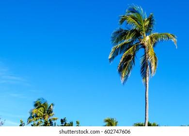 Tropical nature: Many palm trees with a crystal clear blue sky. New Providence Island, Nassau, Bahamas.