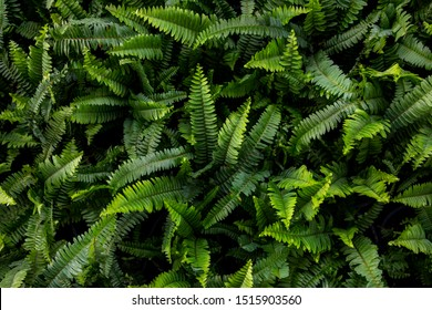 Tropical Nephrolepsis biserrata leaf(Tuber Sword Fern, Sword Fern)texture in garden,abstract nature green background.