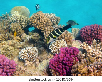 Tropical ocean and colorful reef with fish (wrasse, sergeant, damsel, unicornfish). Healthy rich marine ecosystem. Underwater photography from scuba diving on the coral reef.