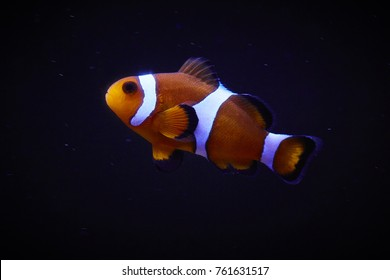 tropical Ocellaris Clownfish