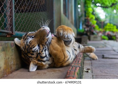Tropical Orange Striped Tiger Paw in Mouth in Tiger Temple Thailand North Chang Mai