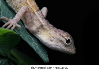 tropical oriental lizard in nature at night