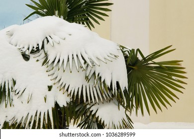 Tropical palm covered by snow, cold weather concept