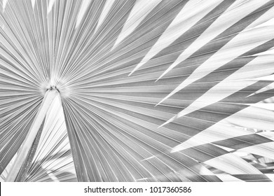 tropical palm foliage texture background, abstract striped of nature, black and white tone