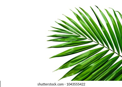 tropical palm leaf isolated on white background, striped of dark green foliage, rainforest plant.