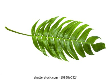 Tropical palm leaf isorated white background. Top view.