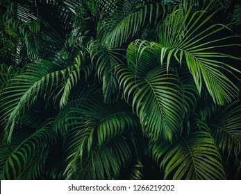 Tropical Palm leaves in the garden, Green leaves of tropical forest plant for nature pattern and background, People grow plants to make fences. color dark flat lay tone for input text.