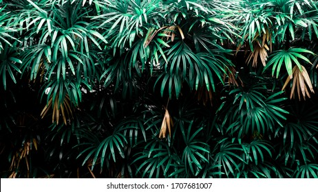Tropical Palm leaves in the garden, Green leaves of tropical forest plant for nature pattern and background