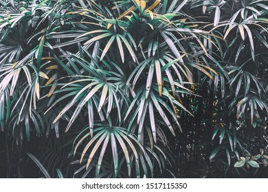 Tropical palm leaves textured background. Green slender lady pal