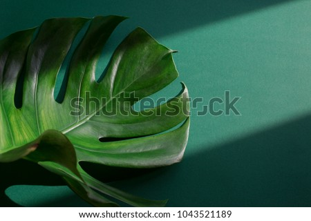Tropical palm monstera leaf on green background. Shadow and sunlight