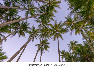Tropical palm trees at Palm Cove in Queensland, Australia