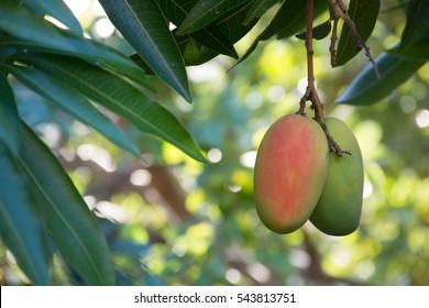 Tropical paradise - exotic mango fruit riping on the tree, Tenerife, Spain