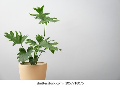 Tropical philodendron with big leaves on light background