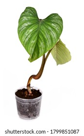 Tropical 'Philodendron Mamei' houseplant with large leaves with silver pattern in transparent flower pot isolated on white background
