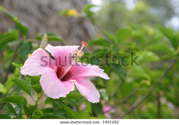 A tropical pink flower