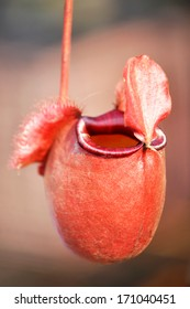 Tropical pitcher or monkey cup plant - one of  carnivorous plants mostly found in Asia