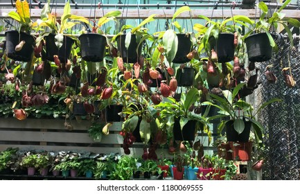 A lot of Tropical pitcher plants (Carnivore plant) at plant shop.