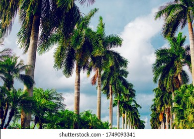 Tropical plam trees against the blue sky.  Tropical background. Green leaves of the palms.