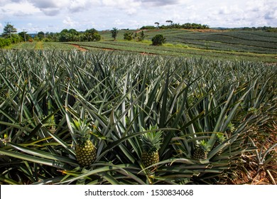A tropical plant, Ananas comosus, native to South America, having thirty or more long, spined and pointed leaves surrounding a thick stem.