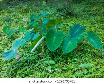 Tropical Plant Colocasia Esculenta Grow Wild In The Field At Banjar Kuwum, Ringdikit Village, North Bali, Indonesia
