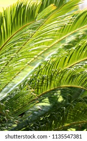 Tropical plant detail, leaves illuminated by sunlight. Selective focus.